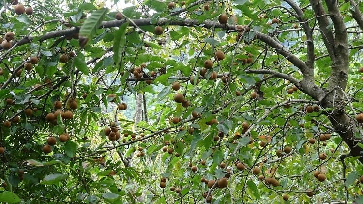 Mận đỏ không kén đất, trồng bất cứ chỗ nào trong vườn cũng sống khỏe và cho quả ngọt. Ảnh: Thannong.