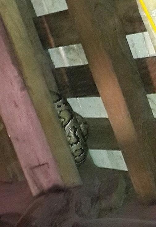 Con trăn nằm cuộn tròn trên xà nhà dài khoảng 2.5 mét.