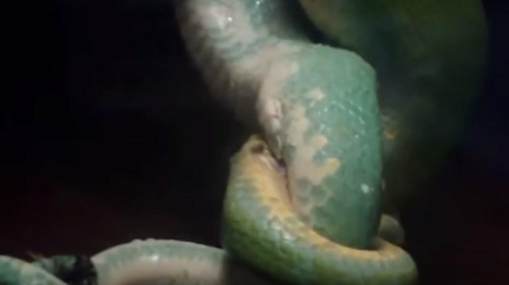 Không chỉ có rắn hổ mang mà chu kỳ sinh sản của các loài trăn cũng tương tự.