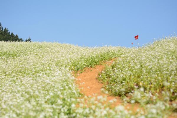 Vùng đất cao nguyên này nổi tiếng với nhiều loại hoa nở quanh năm, nhưng gắn với tháng 1 phải nhắc đến màu trắng của những cánh đồng hoa cải. Hoa được người dân trồng để sản xuất tinh dầu nhưng đồng thời để thu hút khách. Dọc quốc lộ 6 từ Hà Nội lên Mộc Châu, bạn có thể bắt gặp những vườn cải trắng hai bên đường, có thu phí khách vào chụp ảnh. Nhưng để ngắm những cánh đồng nguyên sơ, gợi ý cho bạn là đi sâu vào các bản như Ba Phách, Bản Áng... Ảnh: Vy An.