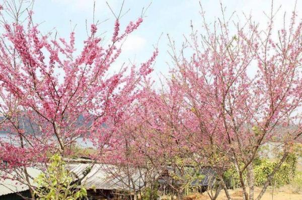 Đảo hoa ở hồ Pá Khoang, huyện Điện Biên là điểm đến hot nhất của tỉnh trong thời gian này. Tại đây trồng hàng chục cây hoa anh đào có nguồn gốc từ Nhật Bản, bung nở thành từng chùm màu hồng tông đậm, nhạt khác nhau. Lễ hội hoa anh đào diễn ra tại đảo từ ngày 5 đến 7/1 với nhiều hoạt động văn hóa, văn nghệ và tham quan. Hoa anh đào đã nở và sẽ tiếp tục khoe sắc trong suốt tháng 1. Từ trung tâm thành phố bạn đi khoảng 20 km về xã Mường Phăng, sau đó đi thuyền 10 phút ra đảo Ảnh: Anh Thiết.