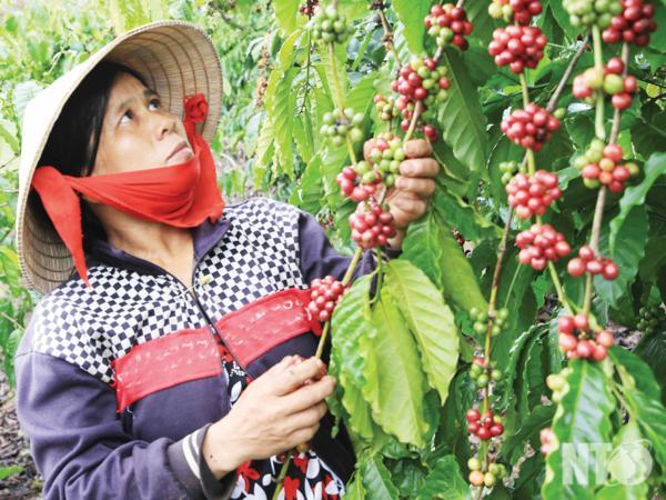 Đồng bào Raglai trồng cây cà phê cho năng suất cao, mang lại thu nhập đáng kể  và cũng là điểm thu hút đông đảo du khách tham quan mỗi khi đến đây.