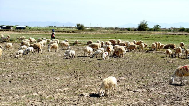 Đàn cừu trên cánh đồng khô do thiếu nước. Ảnh: Tuấn Kiệt.