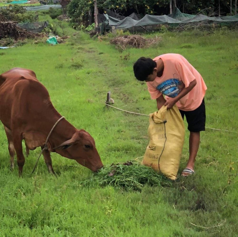 Chỉ là việc làm chân tay nhưng chủ của đàn bò sẽ đảm bảo đủ quyền lợi như 1 lao động công chức bình thường. Ảnh minh họa