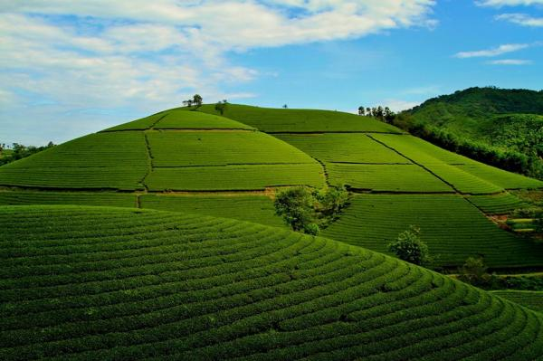 Đồi chè Phú thọ như tấm thảm xanh đang trải dài trước mắt đẹp như phim