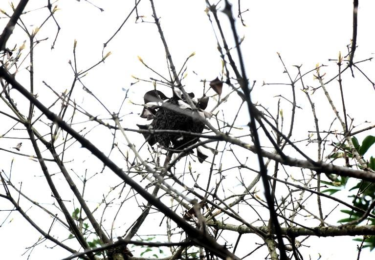 Tổ kiến thường nằm trên các cây cao