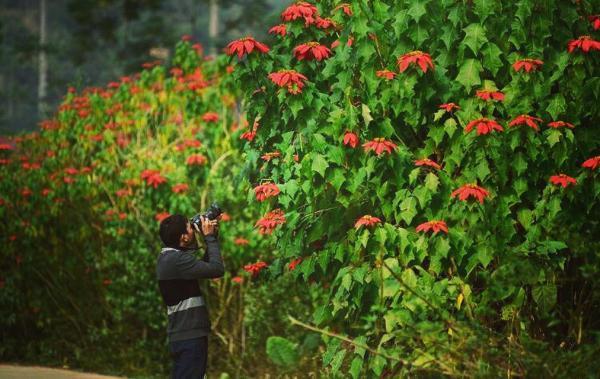 Mùa hoa trạng nguyên đỏ rực góc rừng Xuân Sơn- ảnh Nguyễn Vũ Hậu